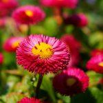 Helichrysum Italicum = Immortelle = Daisy Family